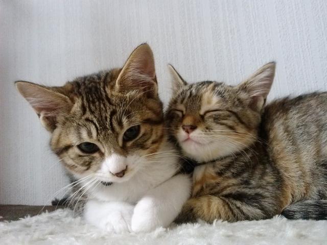 猫の里親になるには一人暮らしの人は譲渡会に行って保証人とか手続きは