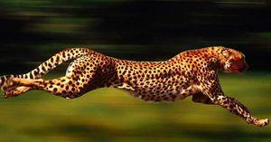 cheetah pierdere subțire în greutate
