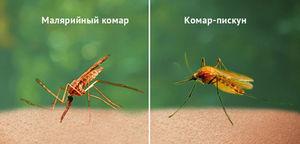 Сколько живут комары? Сколько живут комары в разных условиях существования. Комары – вездесущие создания