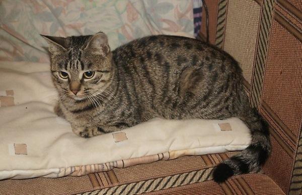 Стоит ли заводить кошку и какую породу кошек выбрать для квартиры