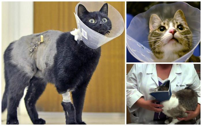 Воротник для кошек. Защитный воротник для кошки: средство барьерной терапии