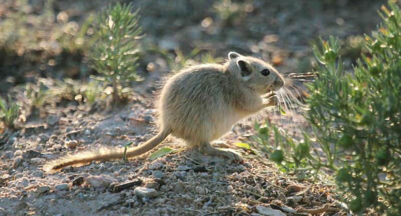 марисса описание грызуны пустынь фото и названия планировала