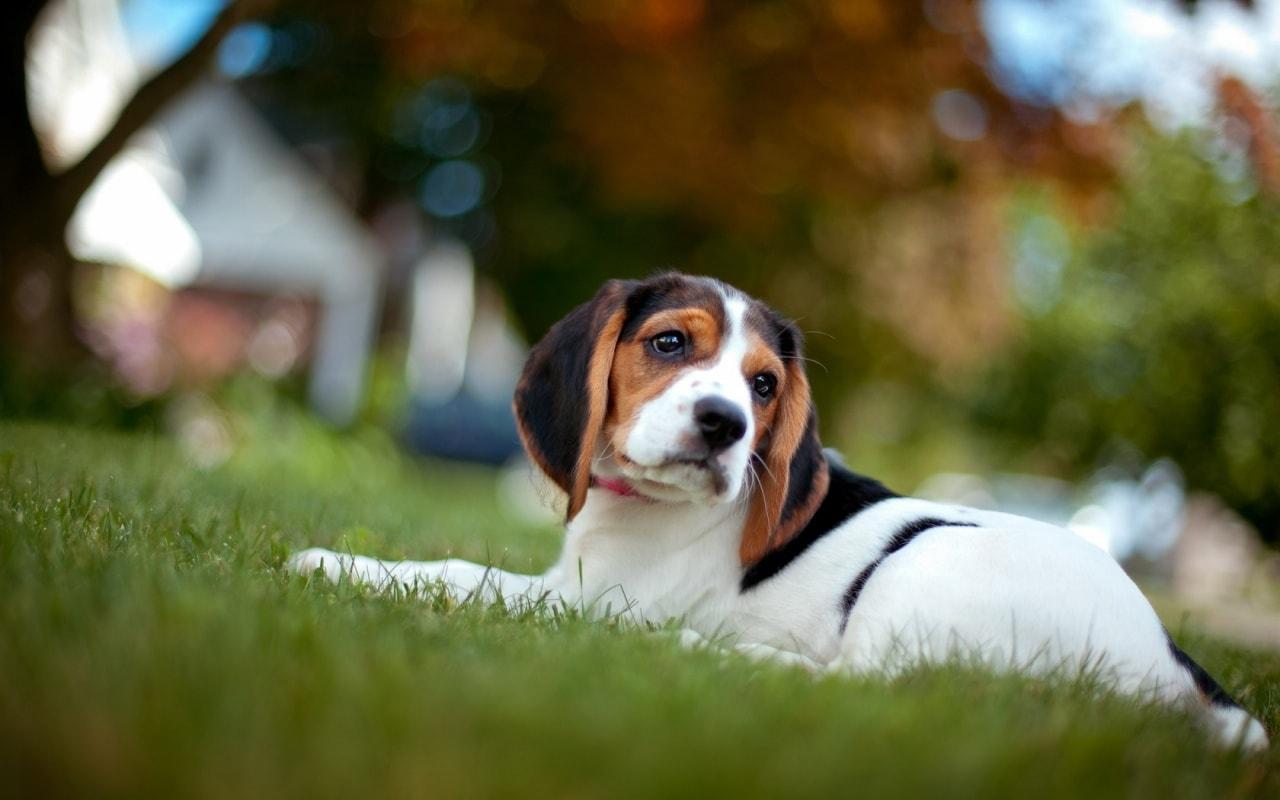 תולעת הפארק – תולעת הפארק בכלבים