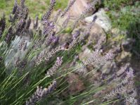 Duftender Lavendel