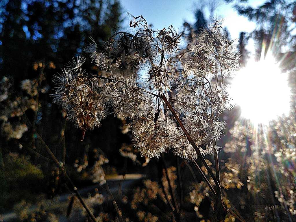 Licht und Gegenlicht. Vertrocknete Pflanze
