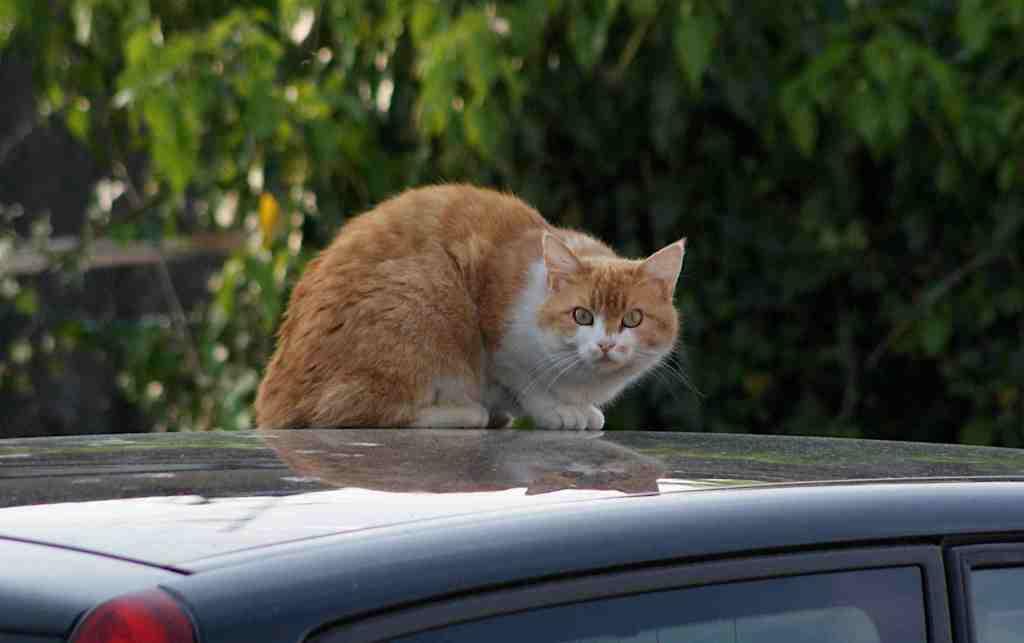 Katze auf dem Autodach