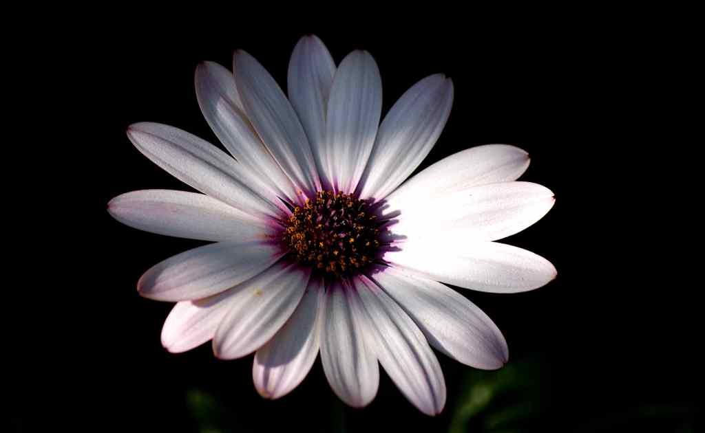 Arctotis Blüte