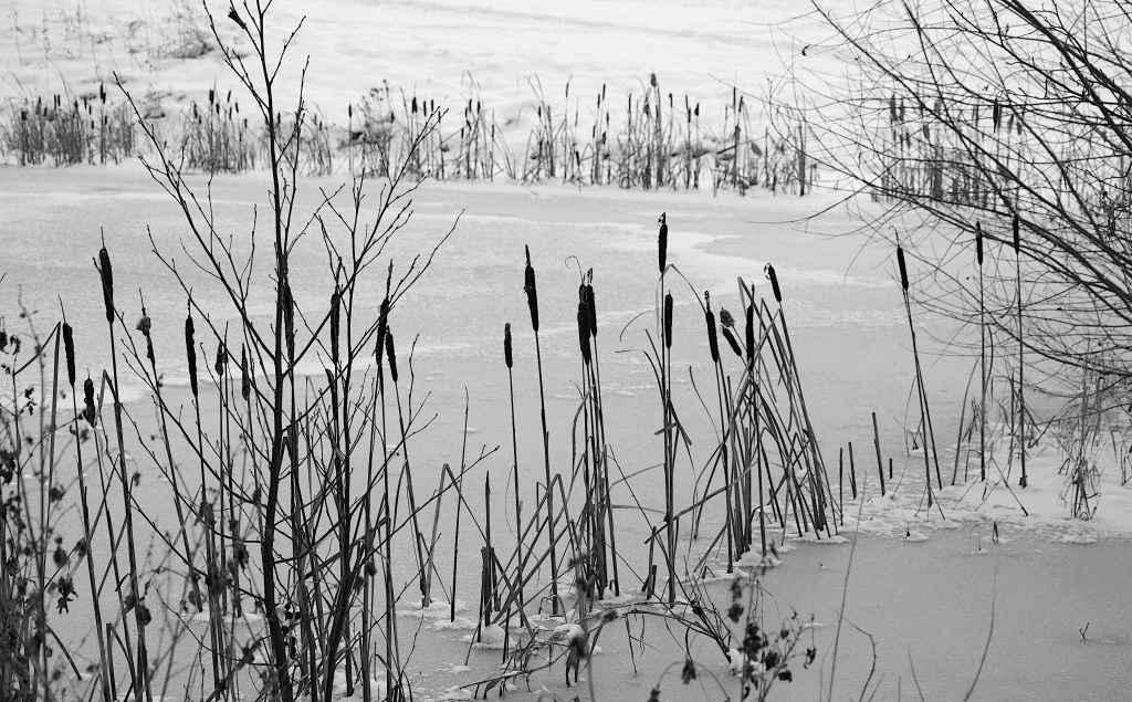 Gefrorener Teich im Winter - Schildkolben als Kontrast