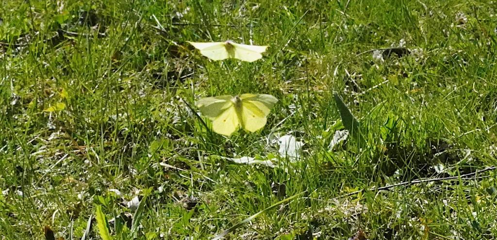 Im Zengerwald: Zwei Schmetterlinge