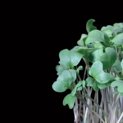 Brocco Cress