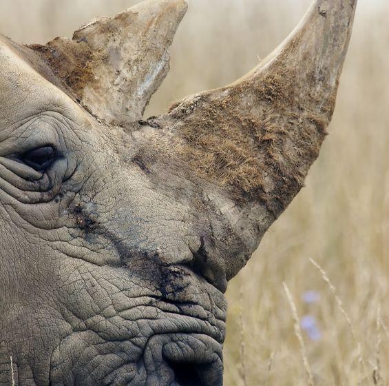 Sproszkowany rog nosorozca