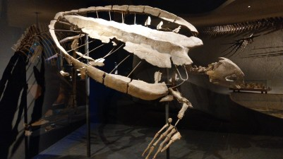 Skelett eines Archelon aus der Oberkreide