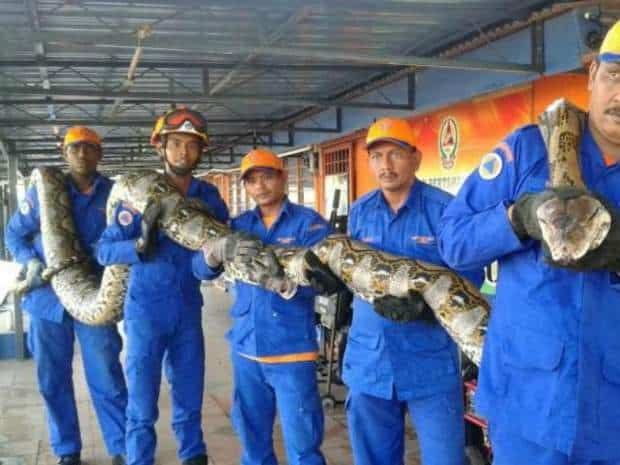World's largest ever snake captured: PICTURES