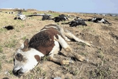 Cattle disease outbreak hits Zim, Butcheries selling infected meat