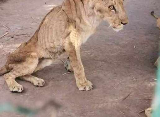 Shocking pictures of lions starving to death in Sudan at Khartoum's Al-Qureshi Park
