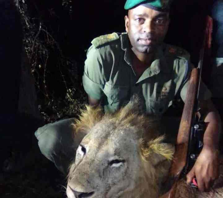 Troublesome BIG Triangle lion finally killed by Zimbabwe rangers..PICTURES