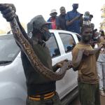 Very big snake found inside parked car in Kwekwe CBD, Owner flees..PICTURES