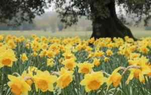 gallery-1487855604-close-up-of-daffodils-growing-in-the-garden-at-wimpole-estate-cambridgeshire-cnational-trust-images-justin-minns