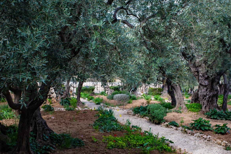 Ogród Getsemane Jerozolima Co zwiedzic i zobaczyc w Jerozolimie w weekend