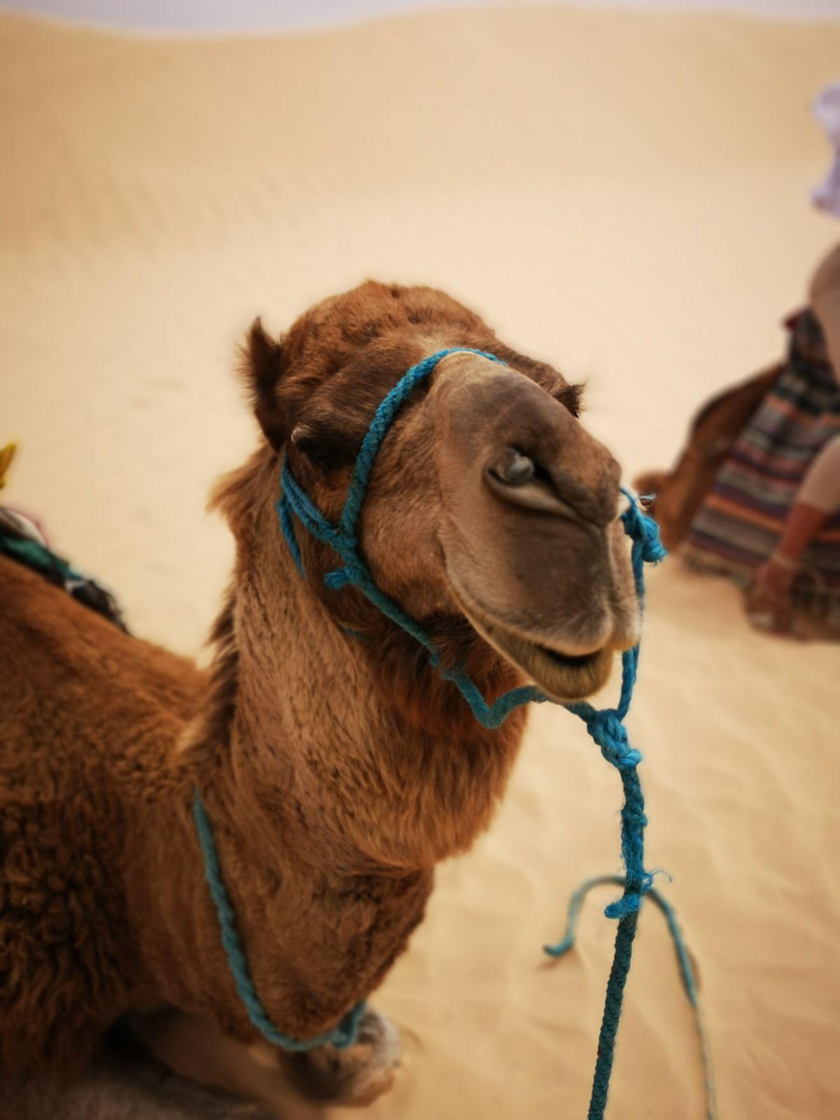 wielbłąd tunezja pustynia