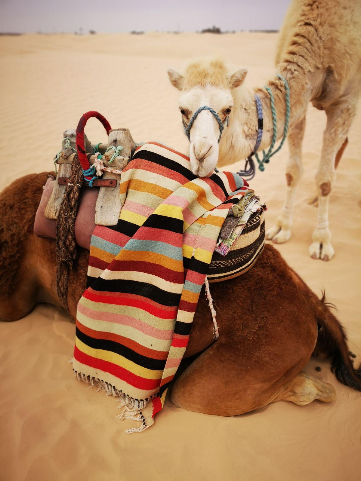 wielbłądy tunezja pustynia jazda na wielbłądach