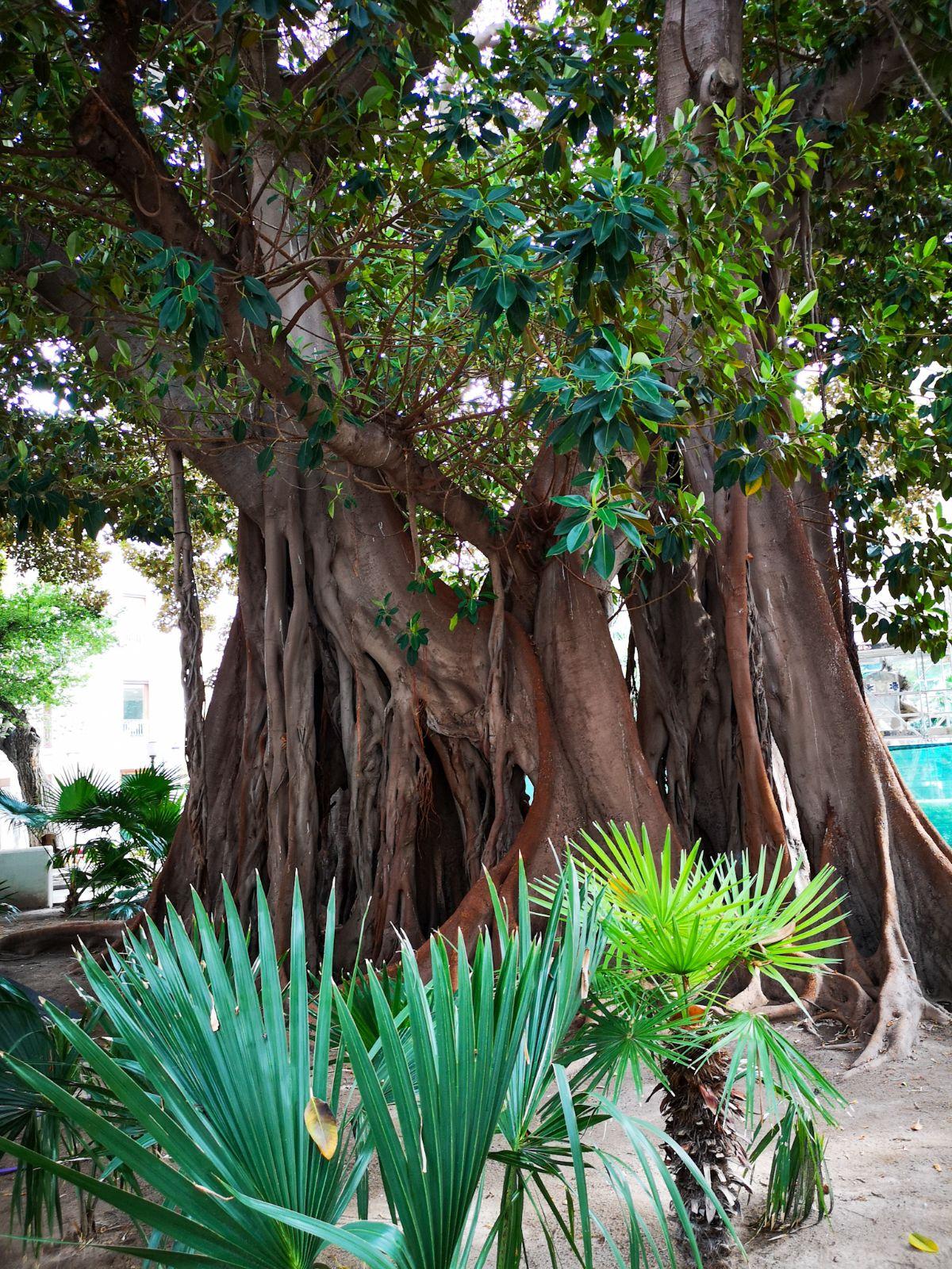 alicante fikus drzewa ogromne stare miasto