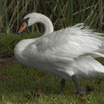 Grypa ptaków – raport na temat sytuacji w Polsce