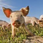 Eksport wieprzowiny wzrośnie