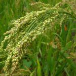 Stare odmiany zbóż przeżywają swój renesans